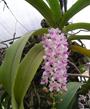 Cách chăm sóc hoa Lan Nghinh Xuân tốt